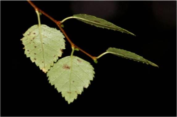 Birch 01