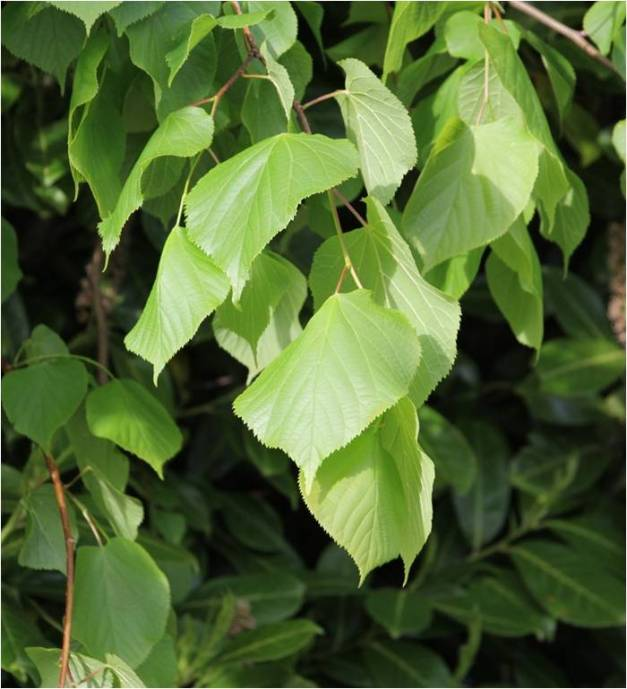 Common lime