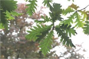 Hungarian oak