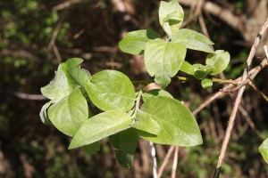 Goat willow leaves