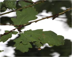 oak 01