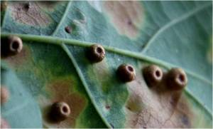 Silk button spangle gall on oak 01