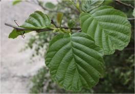 Image result for alder leaves