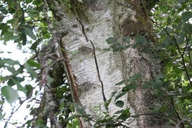 Silver birch - trunk